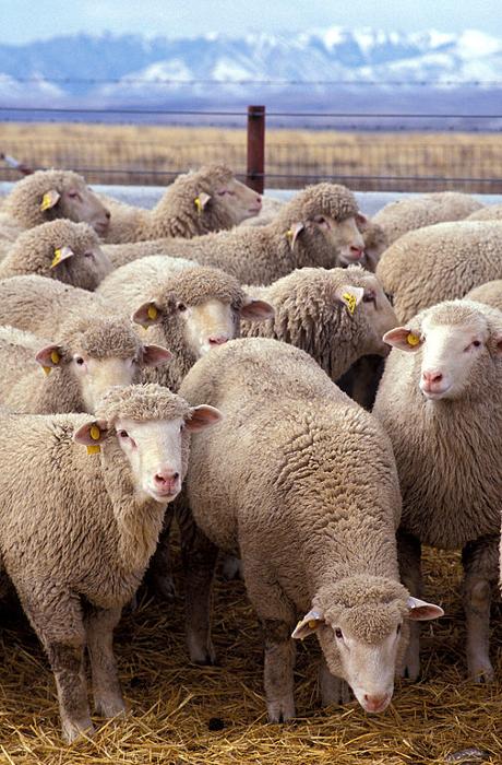 505px-Flock_of_sheep-460